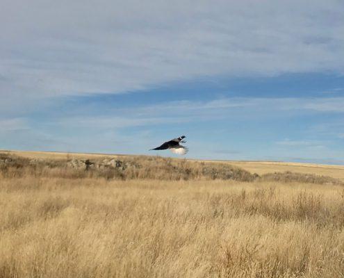 Alberta Pheasant