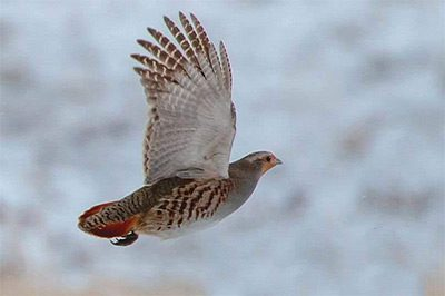 GREY PARTRIDGE WILL BE BENEFICIARY OF HEALTHY DITCHES - PHOTO BY CARL MARR